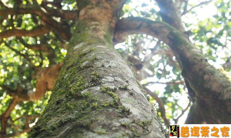 的长寿基因直接来源于云南乔木大叶种茶树,乔木大叶种是云南特殊地理与生物多样性的馈赠。   乔木大叶种茶树属于酸性植物,对土壤酸碱度比较敏感。它生长的酸性土壤PH值为4.5--6.5。最适宜生长的温度是20--25度,普遍存在于海拔800--1800米之间,又因它所处的环境普遍为高山雾多,雨水充足,年降水量在1300--1800毫米,生态系统完整,而独具特色。    云南的茶树与其它植物的交叉存在,不仅体现出生物多样性的特点,更典型地表现在它的异花授粉上。   乔木大叶种茶树在其长期的天然杂交中,直接导致