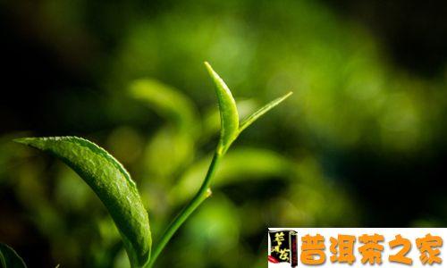 普洱茶树的年龄之谜